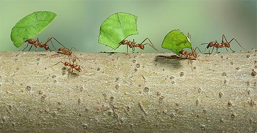 Муравьи-листорезы несут домой листья