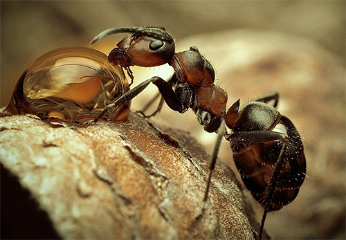 Каждый вид муравьев по-своему интересен и уникален