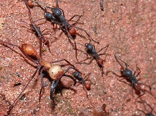 Вот такая колонна из бродячих (кочевых) муравьев может уничтожить все на своем пути