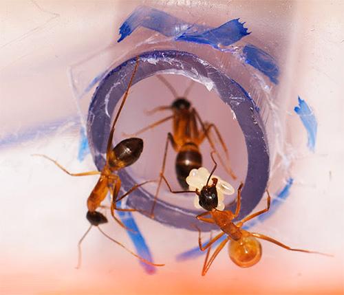 В домашнем муравейнике муравьи перемещаются по специальным ходам