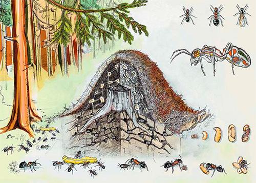 Для зимовки обычно используются нижние камеры муравейника