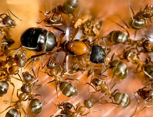 Весной муравьиная матка начинает откладывать новые яйца