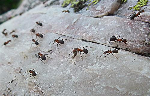 При движении муравьи запоминают элементы пейзажа и ландшафта