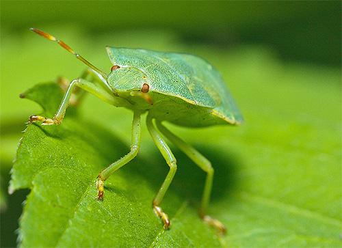 Зеленый клоп щитник крупным планом
