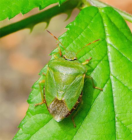 Светло-зеленая окраска клопа делает его почти незаметным на фоне листвы