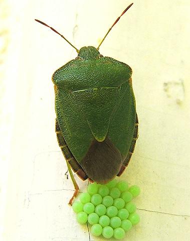 Кладка древесных клопов тоже имеет зеленый цвет