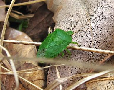 Весной щитники выползают из опавшей листвы и начинают активно размножаться