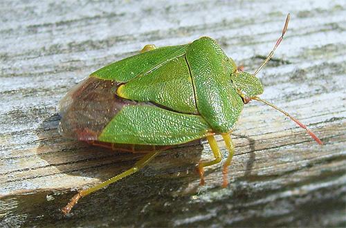 Крылья зеленого клопа слишком малы и не позволяют ему хорошо летать