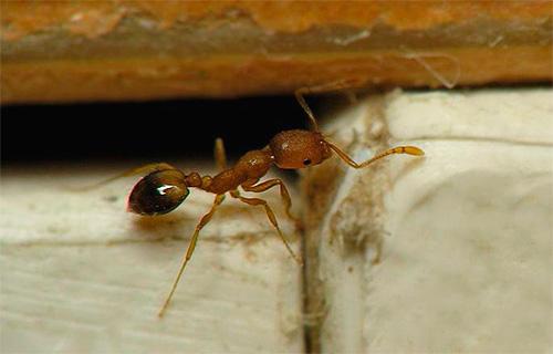 Боремся с домашними муравьями с помощью ловушек