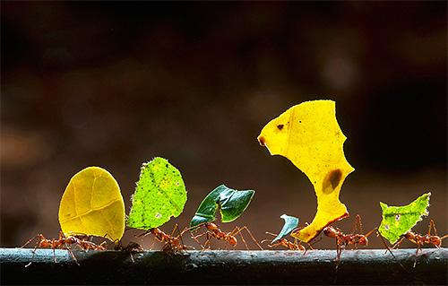 Муравьи-листорезы известны своими необычными способностями. Давайте узнаем, какими?