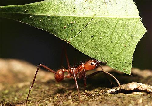 Муравьи-листорезы внешне ничем не примечательны, разве что довольно длинными лапками