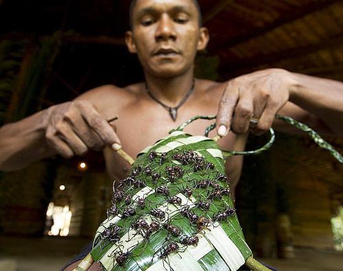Приготовление рукава, кишащего муравьями, для ритуала