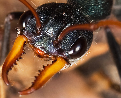 Укус муравья-бульдога вызывает такую острую аллергическую реакцию, что дело может закончиться гибелью