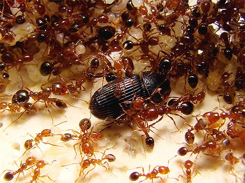 Огненные муравьи считаются одними из самых опасных