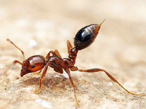С помощью такого жала красный огненный муравей вводит яд в свою жертву
