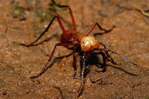 На фотографии показан кочевой муравей