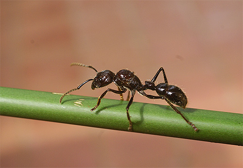 Укусы муравья-пули чрезвычайно болезненны