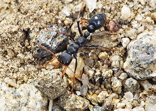 Укус муравья-бульдога может стать причиной анафилактического шока