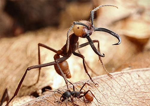 Самки у кочевых муравьев просто огромны