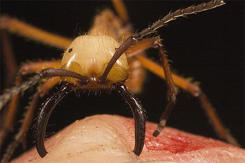 Укусы кочевого муравья весьма болезненны