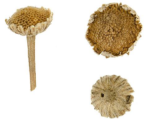 Больше всего пиретринов содержится в цветках ромашки