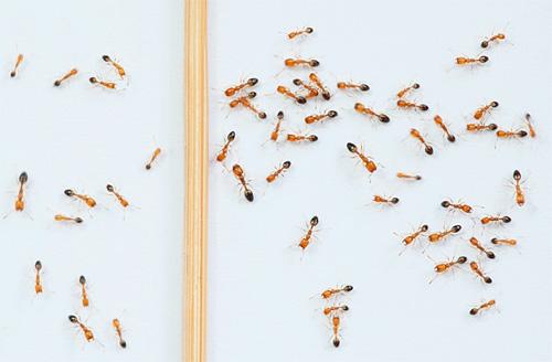 Если в квартире появились рыжие муравьи...