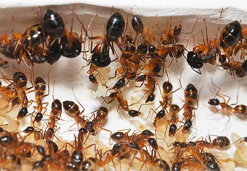 Гнездо домашних муравьев: фото крупным планом