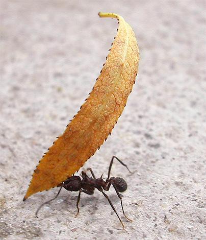 С помощью ног и челюстей муравьи способны поднимать большой груз