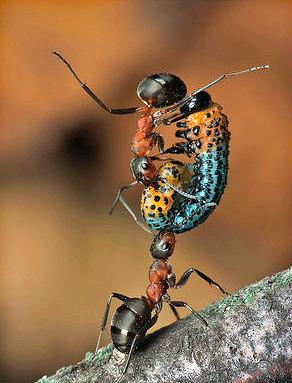 Несмотря на свой небольшой вес, муравьи способны поднимать груз, до 50 раз превышающий их массу