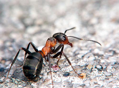 В среднем вес муравья составляет 1-150 миллиграммов