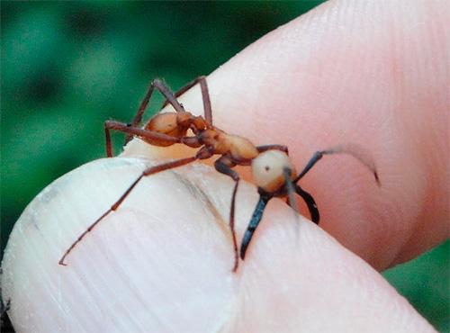 Африканский кочевой муравей