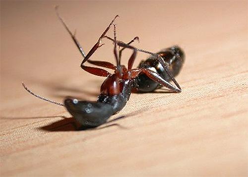 Узнаем, какое средство окажется самым лучшим в борьбе с домашними муравьями