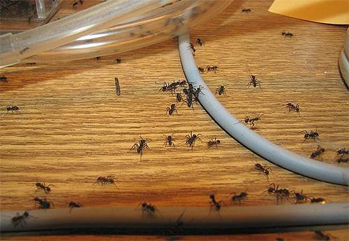 При уничтожении муравьев важна согласованность действий жильцов дома