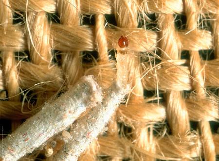 Хотя одежду портят личинки моли, бороться нужно также и со взрослыми ее особями - бабочками