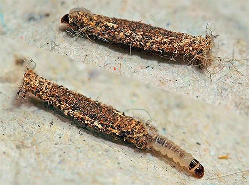 Личинка платяной моли в чехольчике