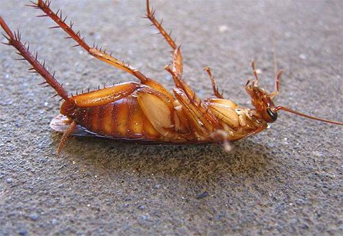 На таракана борная кислота еще может подействовать, а вот на клопов - нет