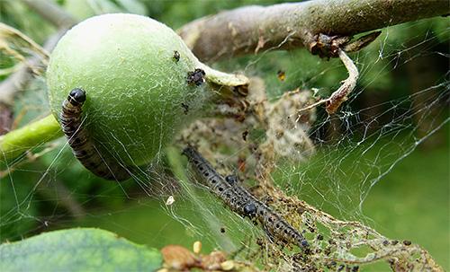 Личинки яблонной моли не дадут возможности созреть плодам