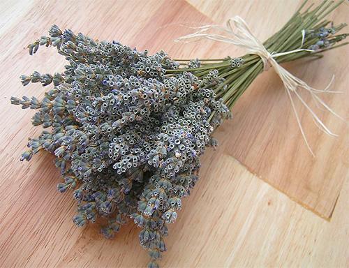 Запах лаванды эффективно отпугивает бабочек моли