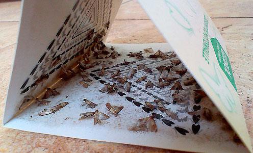 Для борьбы с бабочками пищевой моли могут быть использованы специальные липикие ловушки