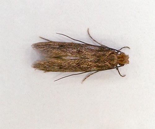 Бабочка шубной моли