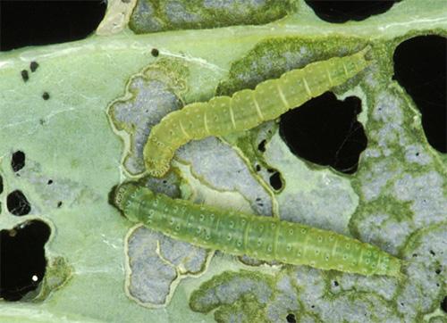 Сразу после выхода из яиц гусеницы начинают активно питаться листьями капусты