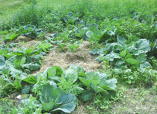 Для борьбы с капустной молью нужно контролировать появление сорняков вокруг капусты