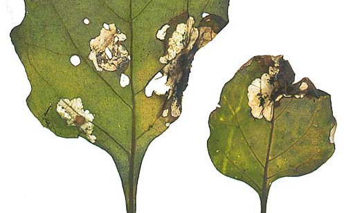 Личинки картофельной моли питаются и листьями, и самими клубнями