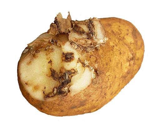 Когда гусениц несколько, то поврежденный клубень картофеля становится похож на губку