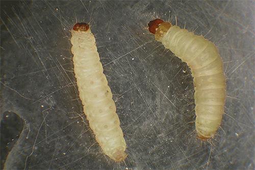 Именно личинки моли (а не бабочки) являются теми вредителями, которые портят наши продукты и одежду