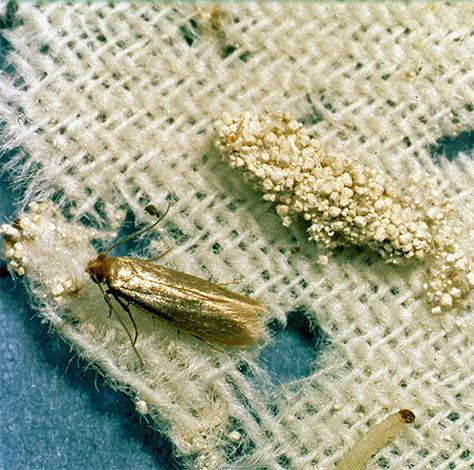 Личинка и бабочка платяной моли