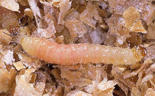 С удовольствием личинки моли питаются крупами, мукой и сухофруктами