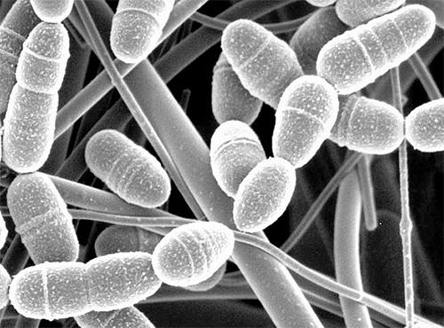 Считается, что фермент церраза, содержащийся в личинках восковой моли, способен расщеплять клеточные стенки бактерий