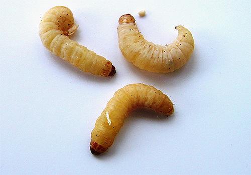 На фото - личинки пчелиной моли