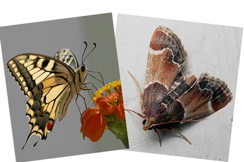 Моль - тоже бабочка, но вот почему у нее отсутствует хоботок